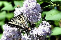 GAG_5552swallowtail crop