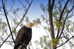 Bald Eagle (shrp)sgnblue filter
